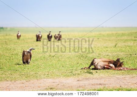 Vultures flight finding corpse of wildebeest at Kenyan savannah, Africa