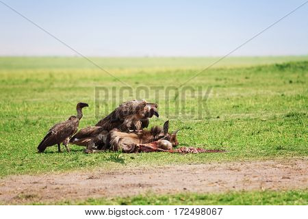 Vultures flight feeding on a wildebeest carcass, Maasai Mara National Reserve, Africa