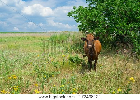 Summer scenery in Ukranian cows' community - all the time waiting for the milkmaid.