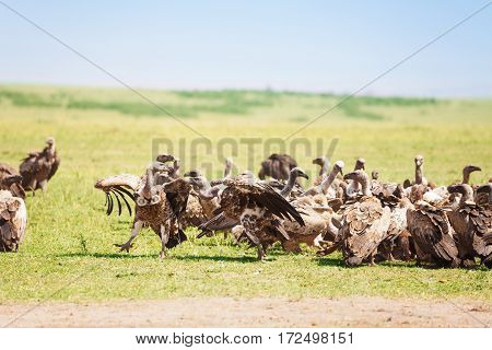 Big flock of white-backed vultures walking at African savannah