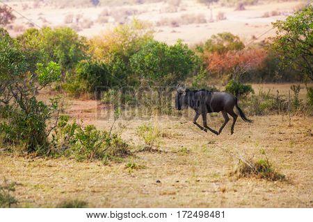 Picture of blue wildebeest galloping alone at Kenyan savannah, Africa