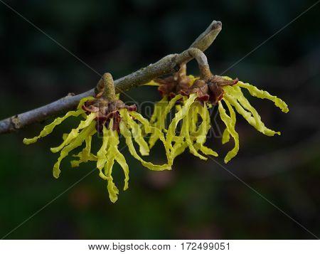 Close-up of yellow witch hazel (hamamelis) blossom