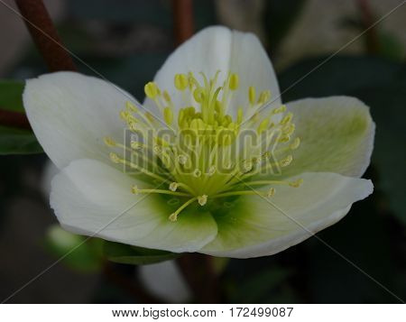 Close-up of white hellebore flower with yellow stamens