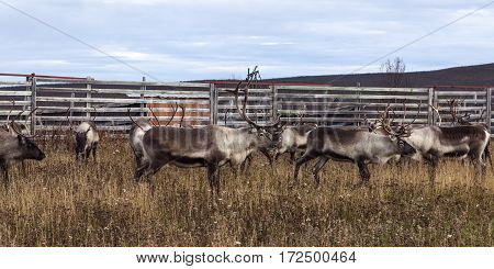 Reindeer, caribous wait for the autumn slaughter in an enclosure. Just the male, an adult male deer is of interest.