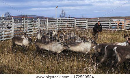 RENSJON, SWEDEN ON SEPTEMBER 19. View of an unidentified man swing his lasso to catch a reindeer on September 19, 2016 in Rensjon, Sweden. Editorial use.