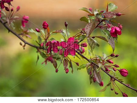 Blooming paradise apple tree buds. Wonderful natural background with pink flowers on a branch.
