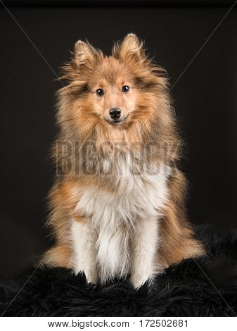 Pretty shetland sheepdog sitting facing the camera on a black background