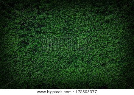 Background of green leaves natural wall pattern.