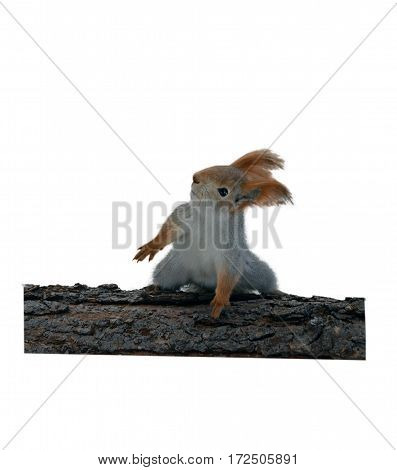 Grey squirrel dancing on a log. White background. Not isolated
