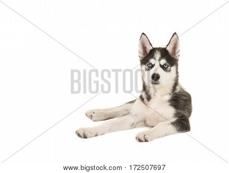 Husky puppy with two blue eyes lying on the floor isolated on a white background