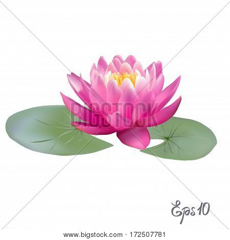 Beautiful Lily Lotus. A beautiful realistic illustration of a lily or lotus and lily isolated on white background close up. Photo-realistic mesh vector illustration.