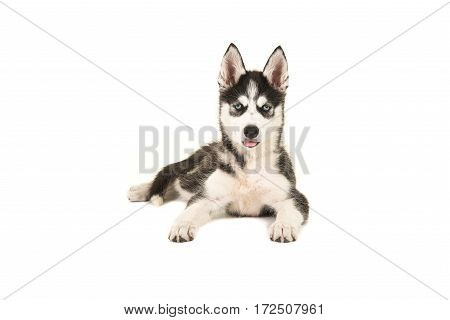 Husky puppy with two blue eyes lying on the floor seen from the front facing the camera isolated on a white background