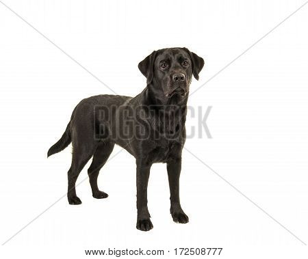 Black labrador retriever standing isolated on a white background