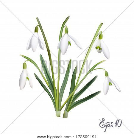The first snowdrops Galanthus isolated on white background close up. Photo-realistic mesh vector illustration.