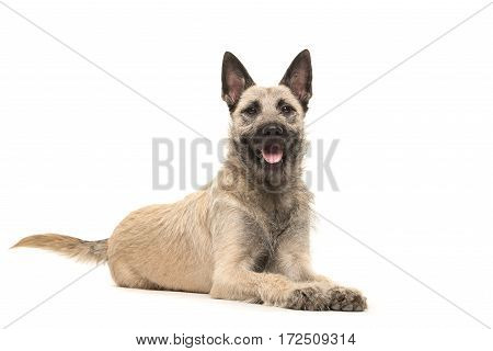 Lying down Dutch wire-haired shepherd facing the camera with tongue sticking out isolated on a white background