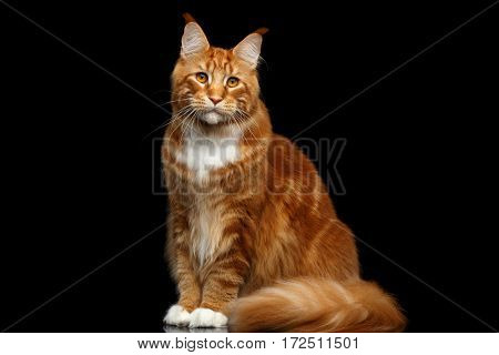 Huge Ginger Maine Coon Cat Sitting with Furry Tail and Looks questioningly Isolated on Black Background, front view