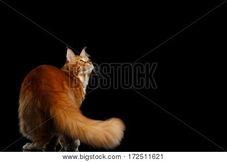 Huge Ginger Maine Coon Cat Standing with Furry Tail and Looking up Isolated on Black Background, Back view