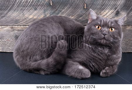 Scottish straight cat lying on wooden background. Front view
