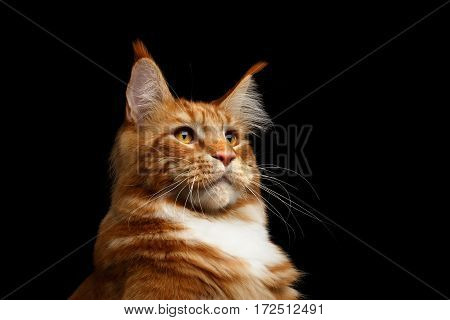 Portrait of Huge Head Ginger Maine Coon Cat with brush on ears Isolated on Black Background