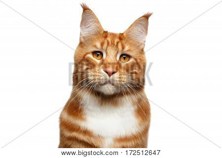 Portrait of Suspiciously Ginger Maine Coon Cat with brush on ears Isolated on White Background, front view