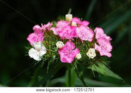 Beautiful Dianthus Barbatus Flower
