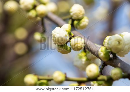 flower bud of the white plum blossom in early spring