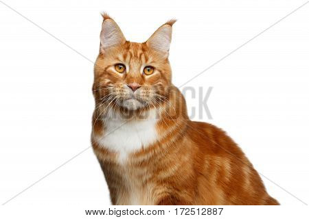 Portrait of Huge Ginger Maine Coon Cat with brush on ears Isolated on White Background, front view