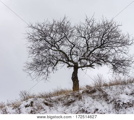 Lonely apricot tree on a hill cloudy sky at winter time