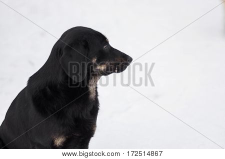 Portrait (profile) of mixed breed black stray dog sitting lonely on a winter street