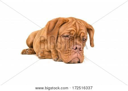 Dogue de bordeaux lying on the floor staring at the floor with paws back isolated on a white background