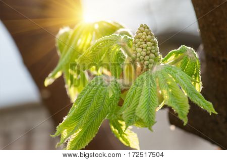young leaves and flowers, buds of a chestnut, are born from a bud on branchesin tree in the spring