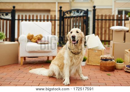 Portrait of gorgeous golden retriever dog waiting outside in front of new house to be moved in with the rest of furniture and cardboard boxes