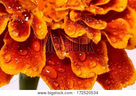 Macro of marigold flower, yellow and orange marigold. Flower in big close up.