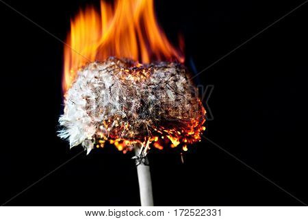 Dandelion flower on a black background, burned to ashes, the fire.