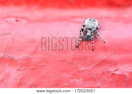 Spider crusader on a red background, is preparing