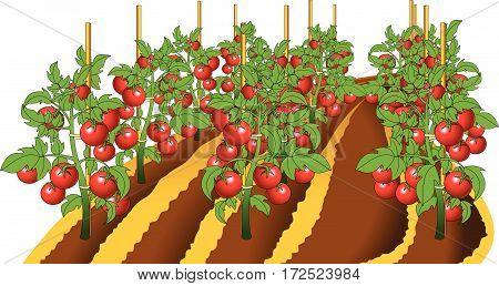 Tomato Plant.eps