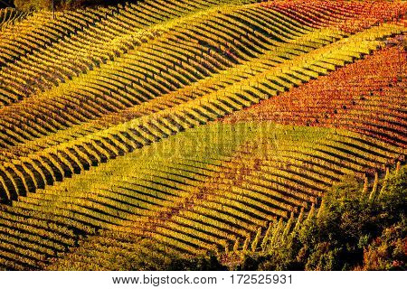 view of vineyards of langhe hills in northern Italy on autumn full of bright colours