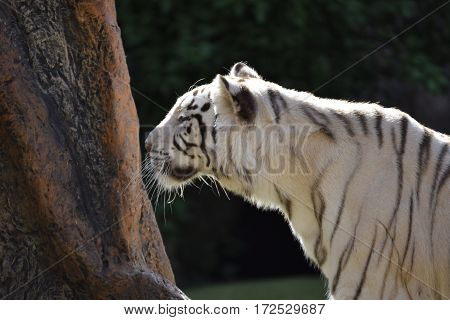 White tiger sniffing on a tree in a park in Puerto de la Cruz Tenerife Spain.