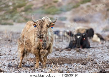 Domestic yak in the Himalaya mountains, Nepal