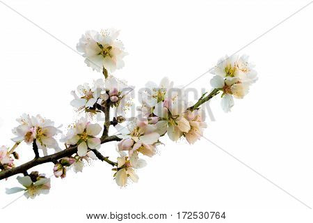 Almond branch Prunus dulcis in bloom isolated over white background.