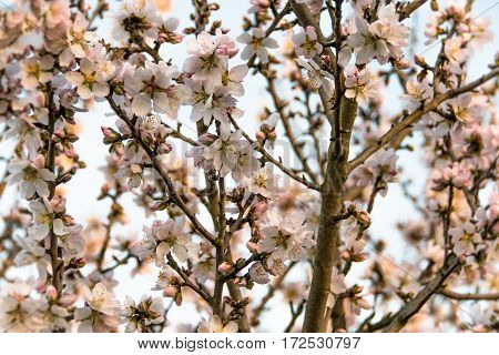 Almond tree Prunus dulcis in bloom with its branches full of light pink flowers on a sunny afternoon in spring.