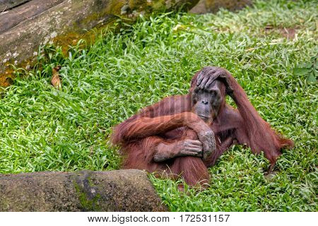 Female orangutan sitting on the grass in the Singapore Zoo