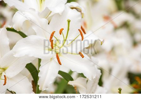 White Asiatic lily flower in the garden