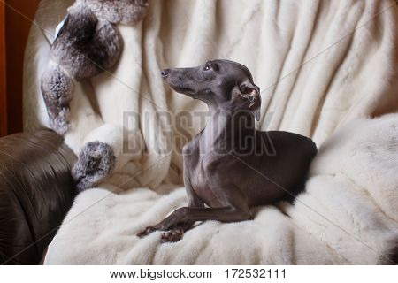 Italian Greyhound Dog Lying On The Couch