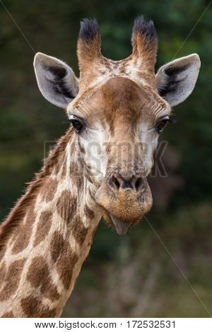 Portrait of a giraffe with funny expression and tongue sticking out