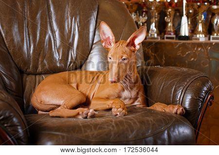 Pharaoh Beautiful Dog On The Background Wall