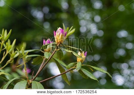 pink rhododendron buds in springtime with copy space