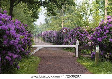 white pole in front of a lane with beautiful blooming pink rhododendron flowers