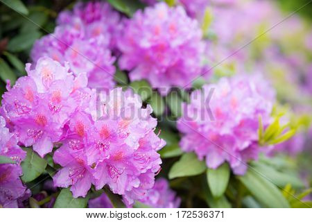 blooming pink rhododendron flowers after a rain shower