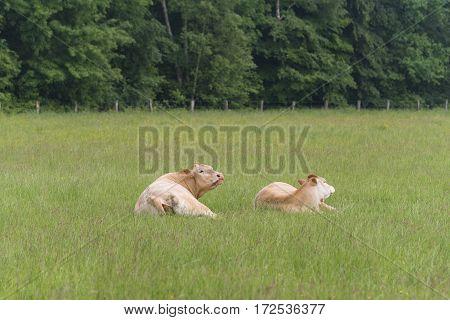 two limousine cows in a dutch landscape